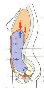 La répartition des pressions abdominales